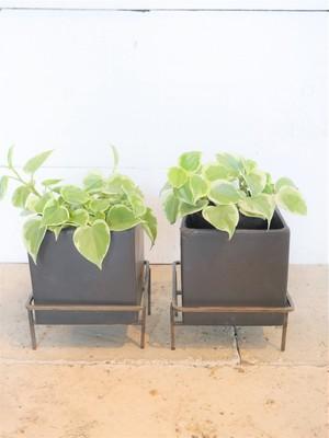 ペペロミア・セルペンス(ブラック陶器鉢カバー&アイアンスタンド付き)