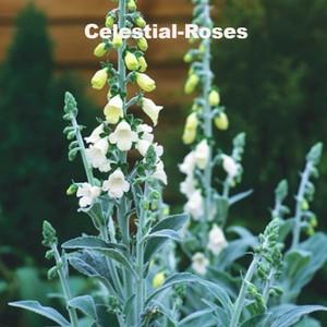 銀葉 ジギタリス シルバーフォックス Digitalis purpurea ssp.