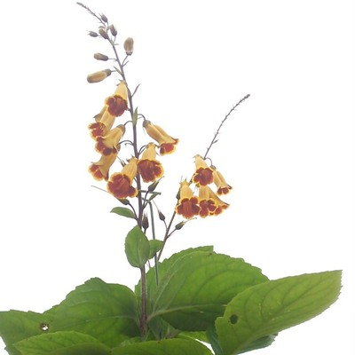 『また会う日を楽しみに』きれいにお辞儀をする花に、こちらこそと言いたくなるマツムラソウ。