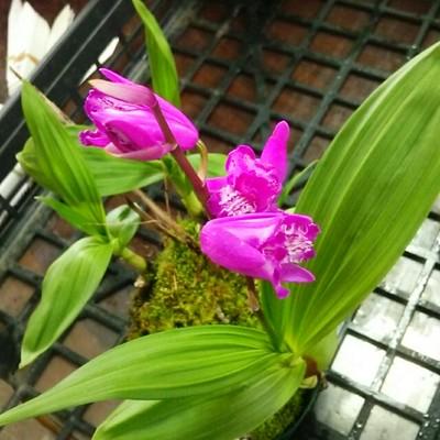 春には新しいお花との出会いがいっぱい!三舌紫蘭の苗をプレゼント