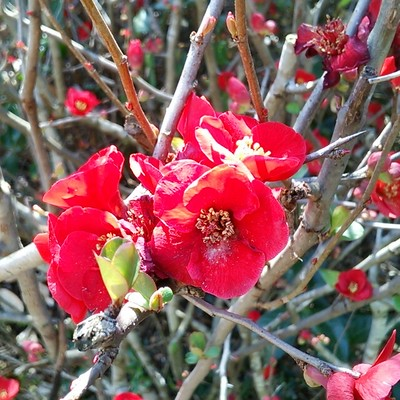 和モダンな生け花に鮮やかな赤が映える。切り枝に向く『ボケ・黒潮』