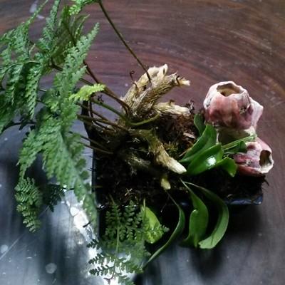 ピンクの貝殻が可愛い♡トキワシノブと獅子葉ノキシノブの寄せ植え