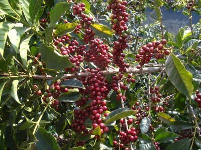 『グァテマラ・エルインフェルトウノ農園』|【ローストラボ・クレモナ】のコーヒーからエシカルを考える。