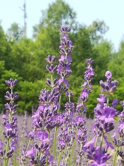 北海道の風を感じる夏の香り 農薬をつかわずに育てたラベンダー生花