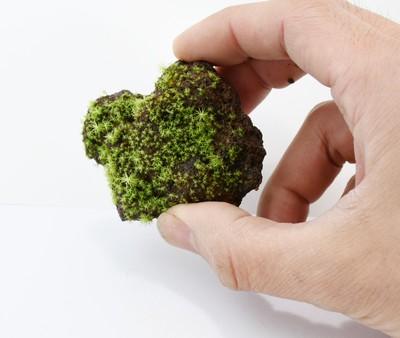 新商品 苔むす溶岩石着生「苔石」