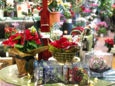 🎄楽しいクリスマスを彩る旬のお花 - 真っ赤なポインセチア🎅