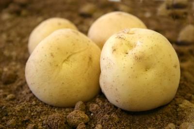 ホクホクで香り良し、旬の味覚「三方原馬鈴薯」。きめ細かい肉質とつやっつやの薄い皮、皮ごと召し上がれ☆