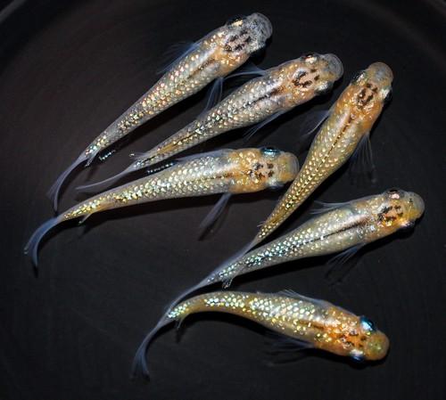 *伊香保FF スタッフおすすめ* オーロラ黄ラメ 若魚(2020年産まれ) オス3 メス3 (現物出品) ikahoff D-1215-6213-a