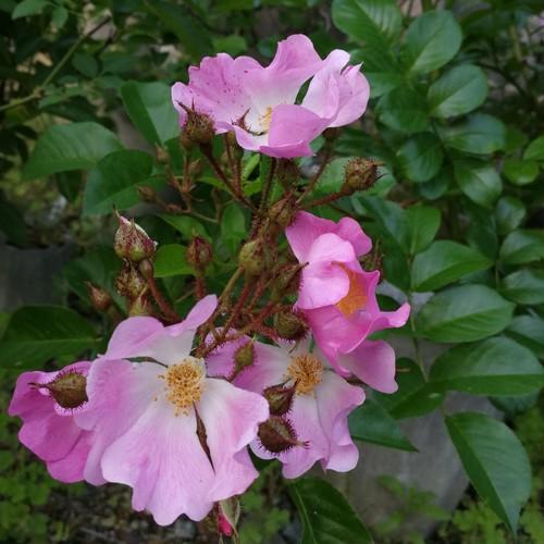 ツクシノイバラ Rosa multiflora var.adenochaeta