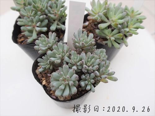 多肉植物 ブルービーン(グラプトペタルム属)いとうぐりーん 産直苗 2号