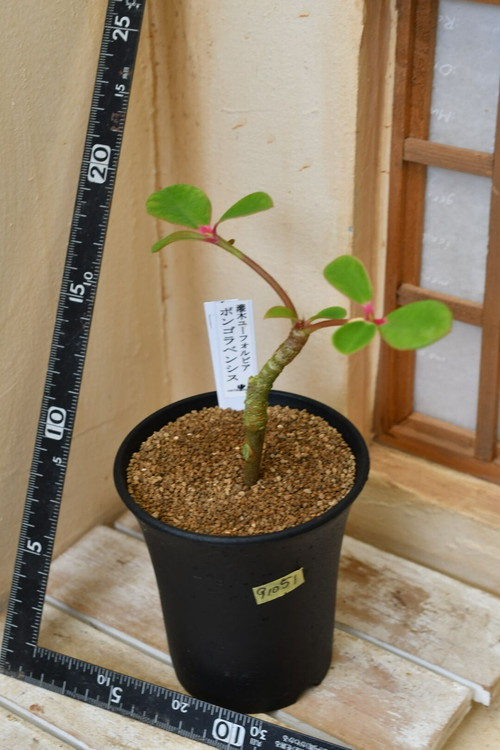 91051 灌木ユーホルビア ボンゴラベンシス