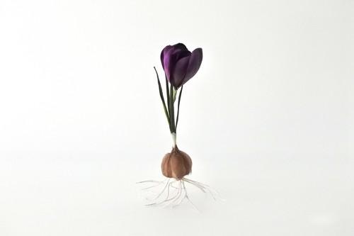 染め花 Horry 球根付きのクロッカス(濃紫)