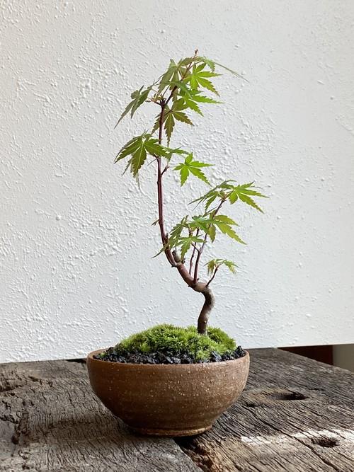 盆栽 ヤマモミジ(04)