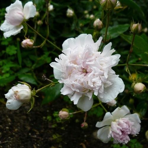 ロサ アネモネフローラ Rosa anemoneflora