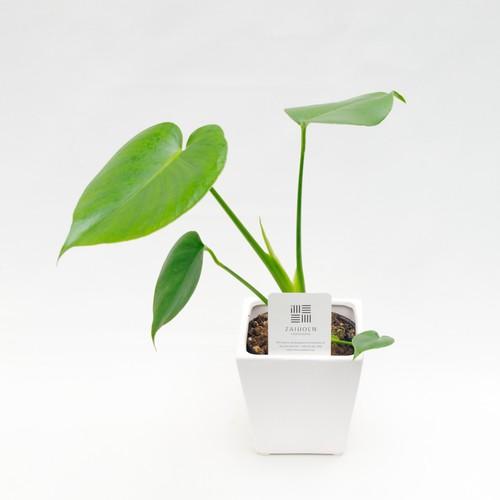 【ミニ観葉植物セット】モンステラ