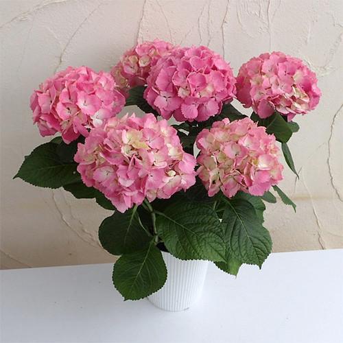 【母の日ギフト】おまかせあじさい(ピンク・レッド系)5号鉢