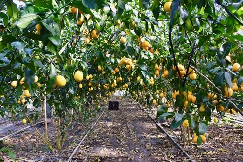 八丈島レモン3キロ分(6~8個):通常レモンより3倍の大きさ 防腐剤・ワックス不使用 皮ごと食せ、酸っぱくない!