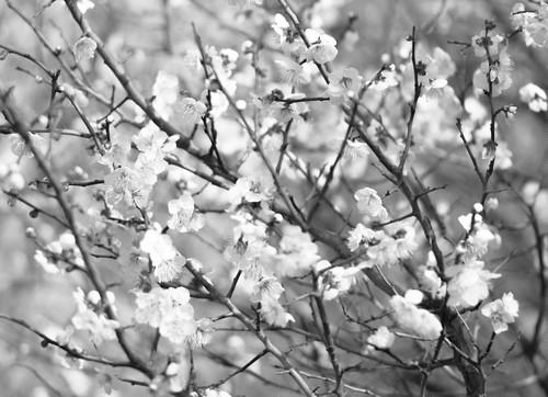 糸崎公朗『梅の花 P2260366』A4size