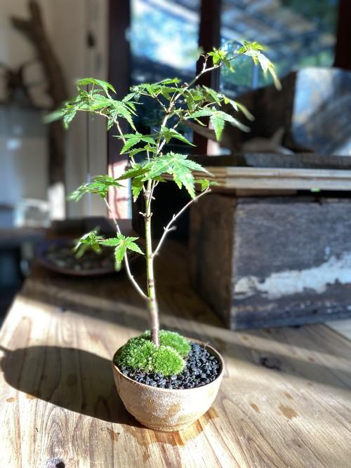 ヤマモミジ盆栽 (10)