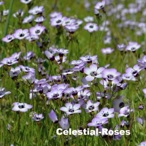 ギリア トリコロール Gilia tricolor