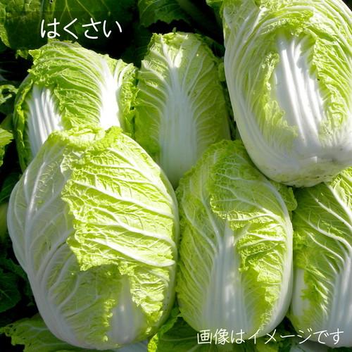 白菜 1個 朝採り直売野菜 7月の新鮮な夏野菜 : 7月13日発送予定