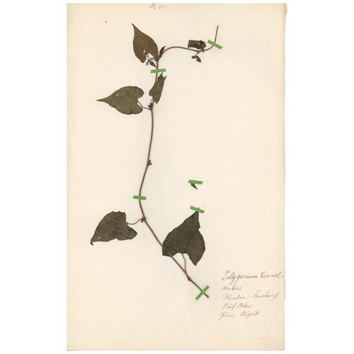 ドイツの古い植物標本 065