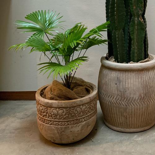 ジャワビロウヤシ terra-cotta pot