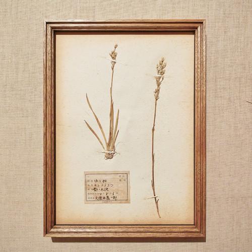 植物標本 フレーム 1929 vintage 18MAR-VSH44