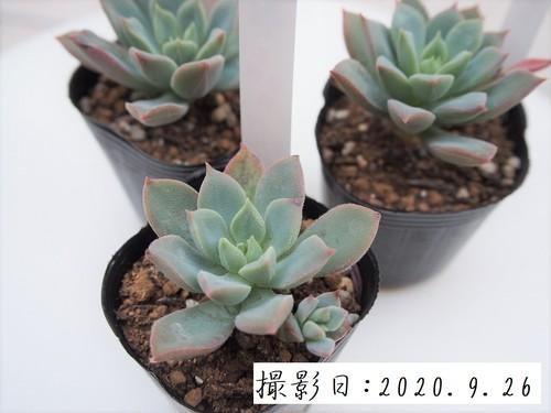 多肉植物 パルチェラ(エケベリア属)いとうぐりーん 産直苗 2号