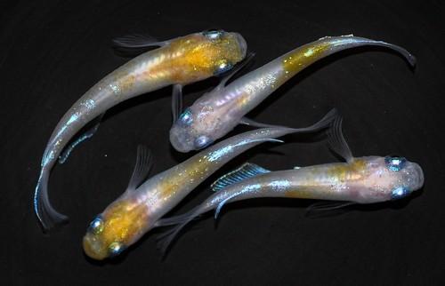 カブキ 白 若魚(2020年産まれ) オス2 メス2 (現物出品) ikahoff I-0906-4728-a