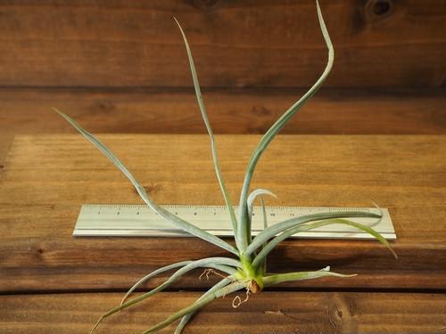 チランジア / カリギノーサ (T.caliginosa)
