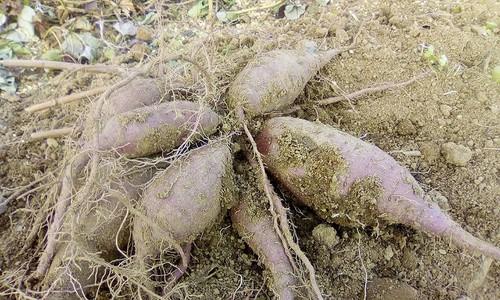 屋久島産・自然栽培安納芋10キロ