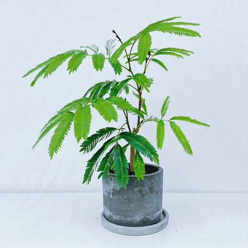 エバーフレッシュ Cojoba arborea var. angustifolia