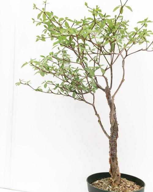 ユーフォルビア ウンブラクリフォルミス Euphorbia umbraculiformis 20170808