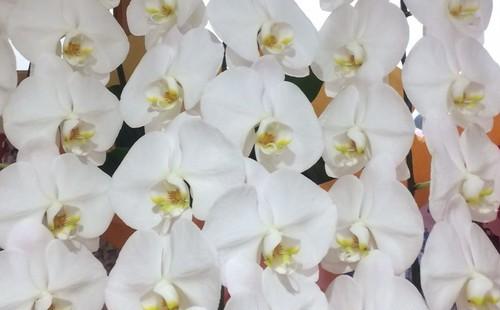 胡蝶蘭 鉢物 白 3本立て 42輪以上 千葉市無料配達