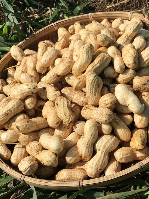おおまさり/ Ohmasari (Jumbo Peanut)