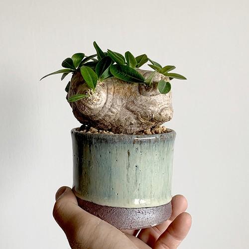 "Pot ""Sheer"" L+Pachypodium brevicaule"