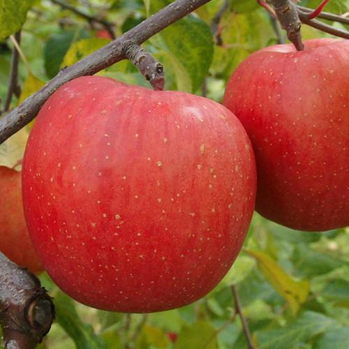 サンふじ 大箱 ご自宅用 | 青森りんごの代名詞