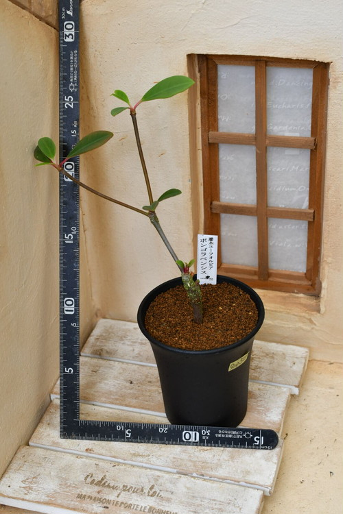 91050 灌木ユーホルビア ボンゴラベンシス