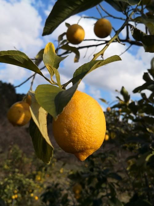 自然栽培無農薬レモン(傷あり)2kg(10個~20個)