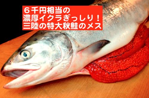 6千円相当の濃厚イクラぎっしり!秋だけのおいしい贅沢、 特大秋鮭の雌を1本まるごと、あるいはさばいて!