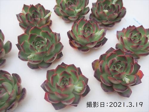 レッドモラン 韓国苗 多肉植物