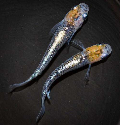 ◆伊香保FF スタッフおすすめ◆ オーロラ黄ラメ体外光 若魚(2020年産まれ) オス1 メス1 (現物出品) ikahoff N-0330-8080-a