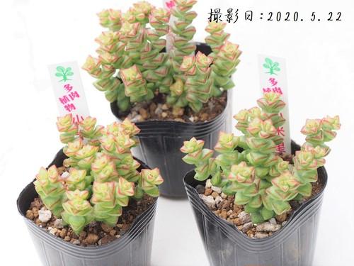 多肉植物 小米星 こまいぼし(クラッスラ属)いとうぐりーん 産直苗 2号