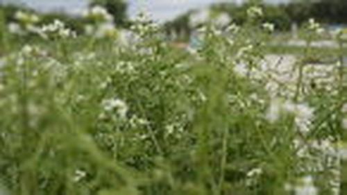 花クレソンシード 季節限定商品