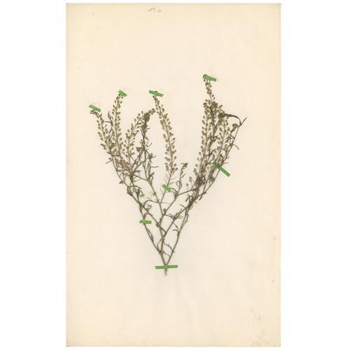 ドイツの古い植物標本 046