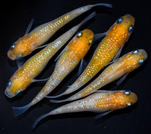 *伊香保FF BASE限定* 黄桜 (2021年産まれ)稚魚 20匹 ikahoff X-0421-8641-c
