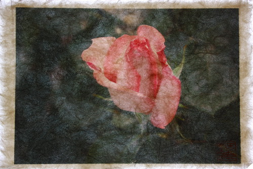 Shunsai Yonemura's artwork 花、京都府立植物園 Rose, Botanical garden, Kyoto