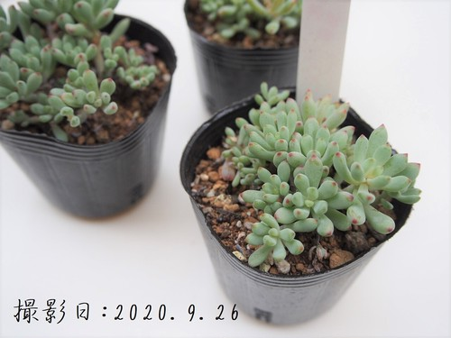 多肉植物 ミクロカリックス(グラプトペタルム属)いとうぐりーん 産直苗 2号