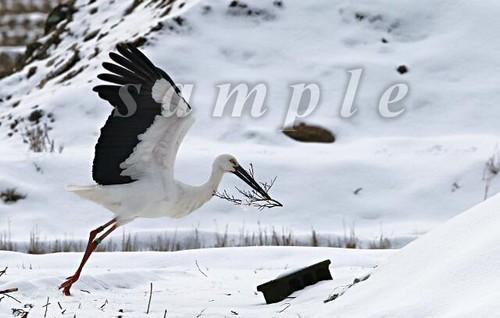 コウノトリ写真(ダウンロード)「冬の巣作り」